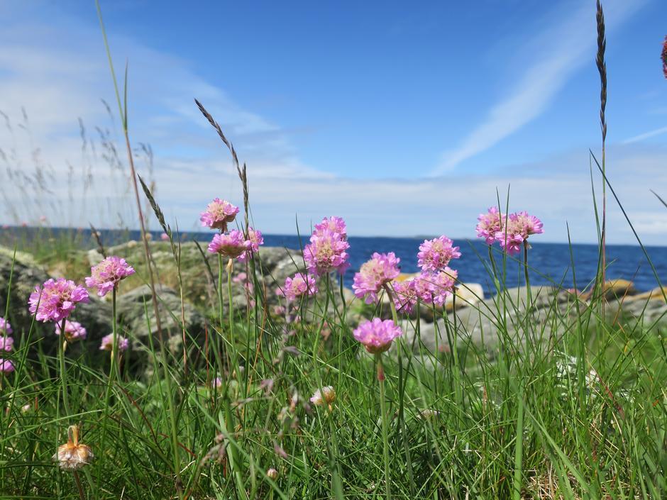Strandnellik er et sikkert tegn på at våren er kommet.