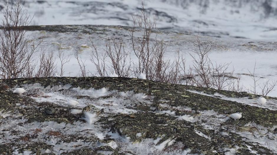 Fjellryper i Rana