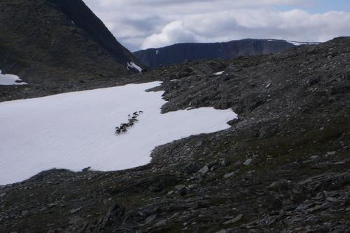 Reinsdyr på Mellomfjell