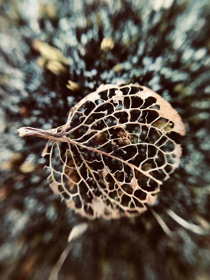 Et vissent blad av musøre, hvor bare bladnervene er igjen.