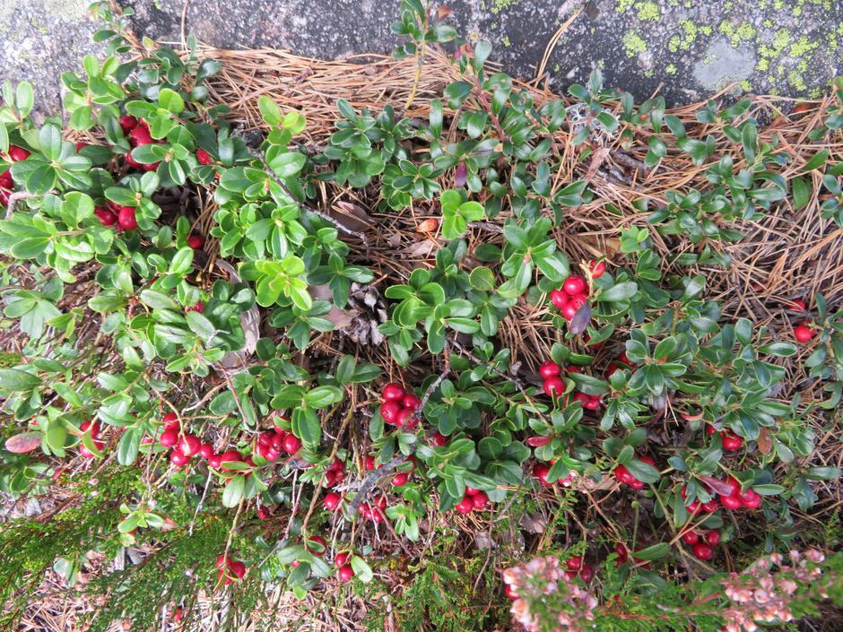 Rødmande tyttebær.