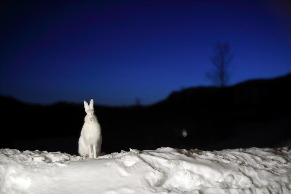 SMARTING: For å unngå rovdyr har haren flere triks på lur. Foruten å bytte til vinterdrakt, lager den spor på kryss og tvers i snøen for å forvirre den som jakter på den.