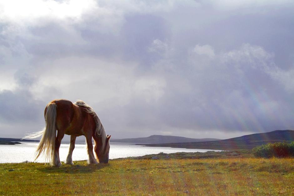 HEST PÅ TUNET: Hestene finner frodig beite rett utenfor døra på Rauhelleren turisthytte på Hardangervidda.