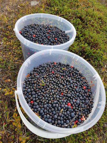 Bærplukk: blåbær eller krøkebær