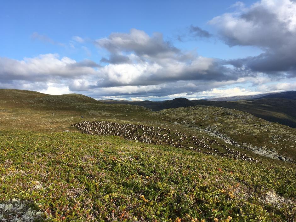 villreinjakt i Skjåk