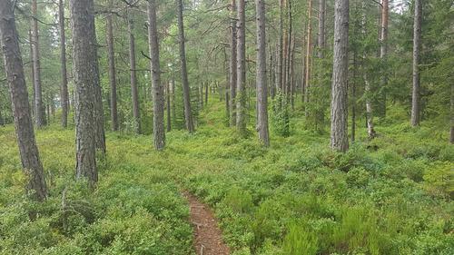 Furuskog på Rødåsen
