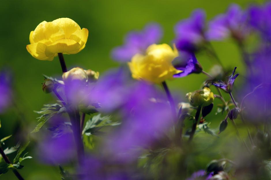 FRODIG: I Langsua nasjonalpark bugner det av blomster som ballblom og skogstorkenebb.
