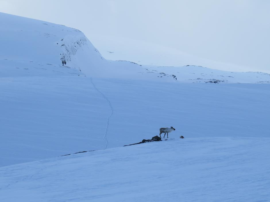 Rein på beite i Knallerdalen på Saltfjellet