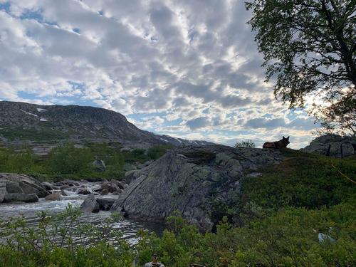 Briska passer på i sommernatten i Simskardet, Børgefjell nasjonalpark.
