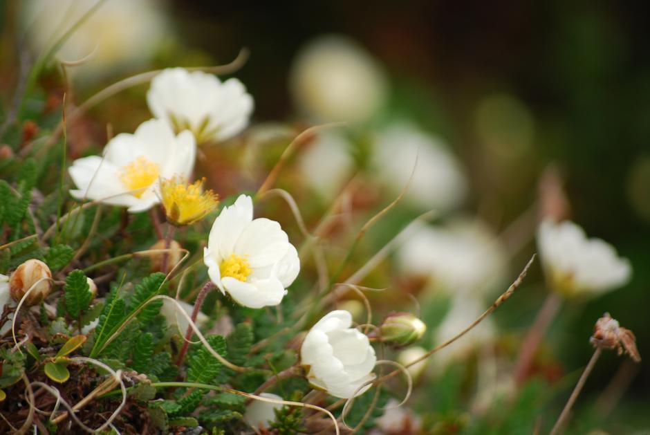 Blomster finner du i hele Grimsdalen.