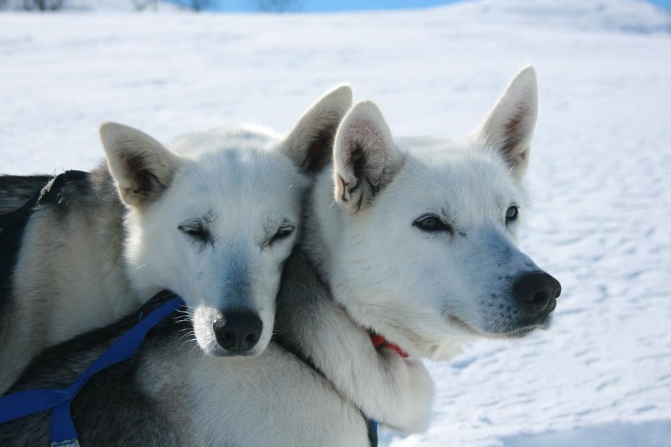 Haukeli Husky har rundt 50 hunder som er klare til å ta deg med på tur