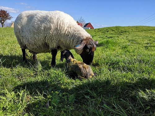 Nyfødt lam