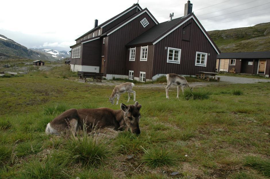 Reinsdyr ved Geiterygghytta. Foto: DNT Oslo og Omegn