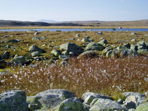 Myrull på  Hardangervidda