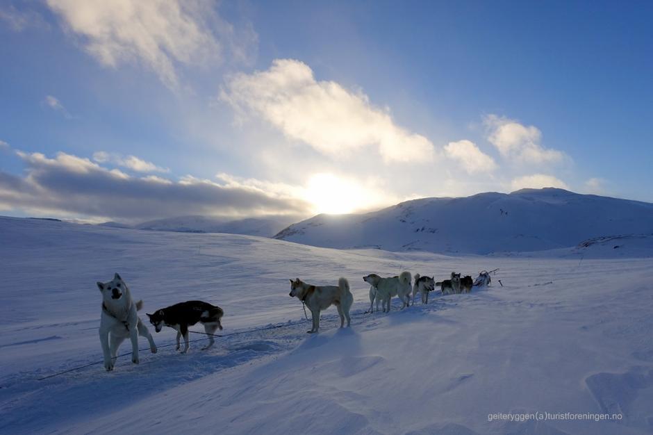 Polarhundar i spann