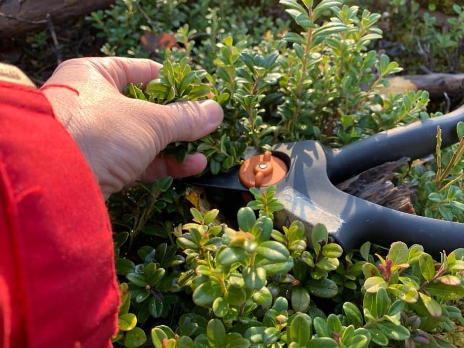 Sjå etter små blad og tett tyttebærlyng. Stuss lyngen i 4-7 cm lengder slik at du ikkje treng å klippa meir enn ein gong.
