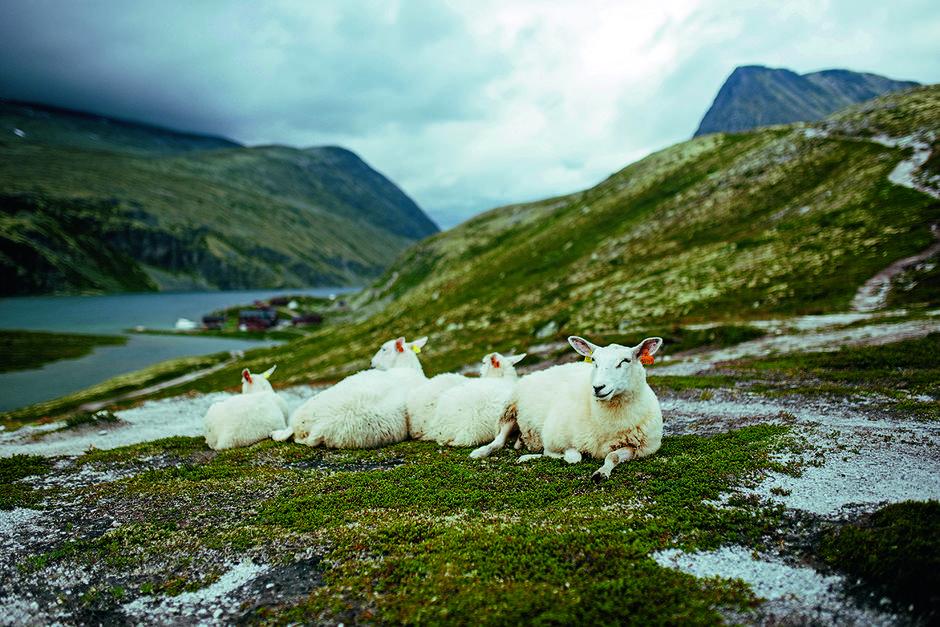 PUST I BAKKEN: Også sauene tar seg en hvil på toppen av bakken, med Rondvassbu i bakgrunnen.