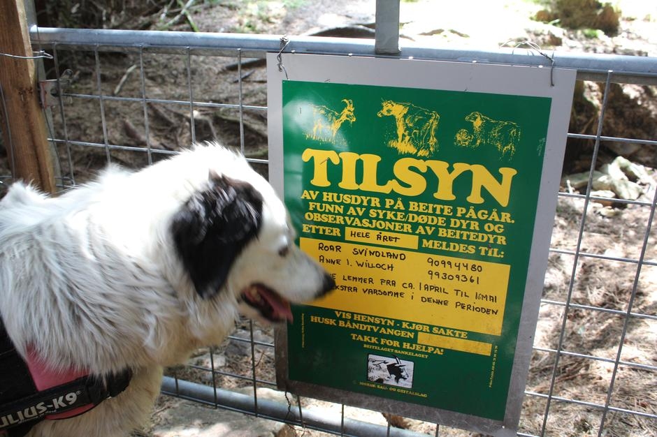 Husk å ha hunden i bånd på hele turen. Det er mye villsau i området.