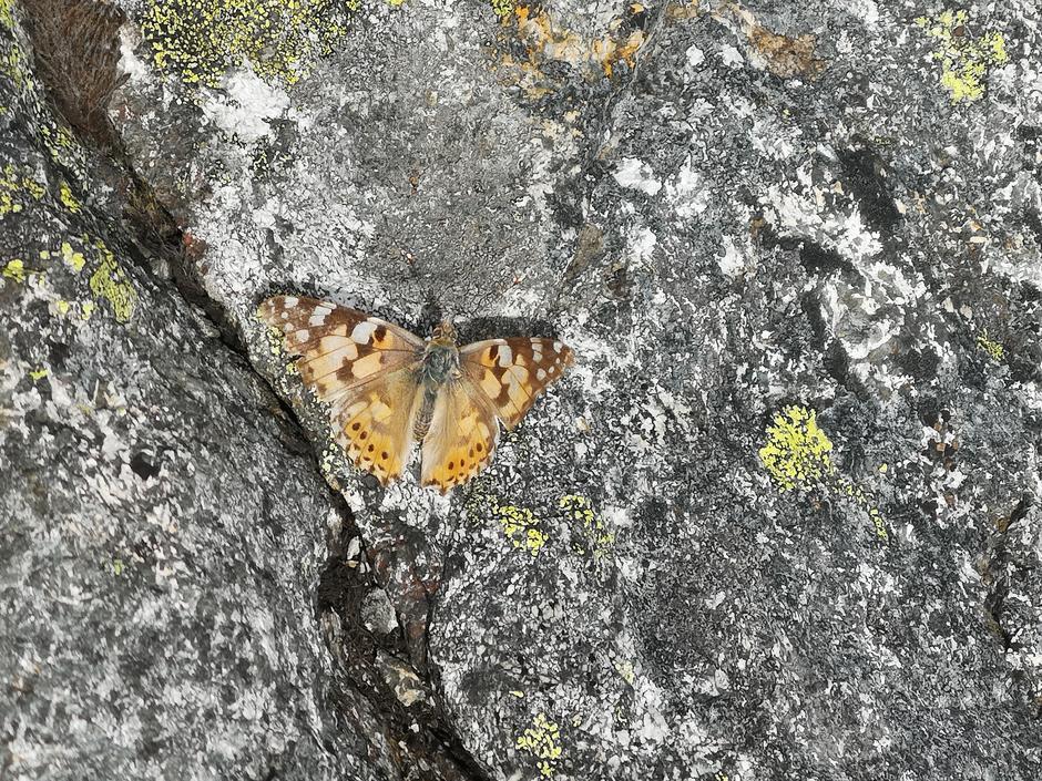 En sommerfugl helt på toppen av Svinningen