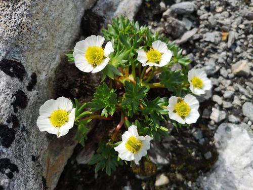 Issoleie har høyderekorden for norske blomsterplanter med 2370 moh på Galdhøpiggen