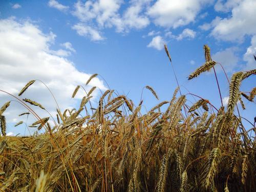 Gulmoden høstrug i Stange vestbygd. Skuronna er igang og forventningene til årets avling er stor. Alltid spennende å se om vårens og sommerens intense arbeid har båret frukter!