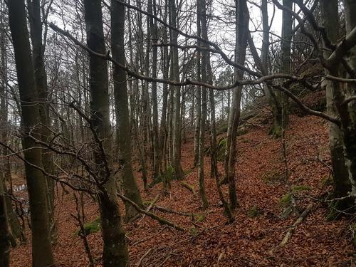 Stien går gjennom bøkeskog