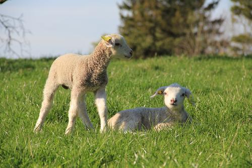 Bilde er tatt på Østerbakke i Råde, på beite til Tomb Jordbruksskole. Det er to nyfødte lam som er på vårbeite.