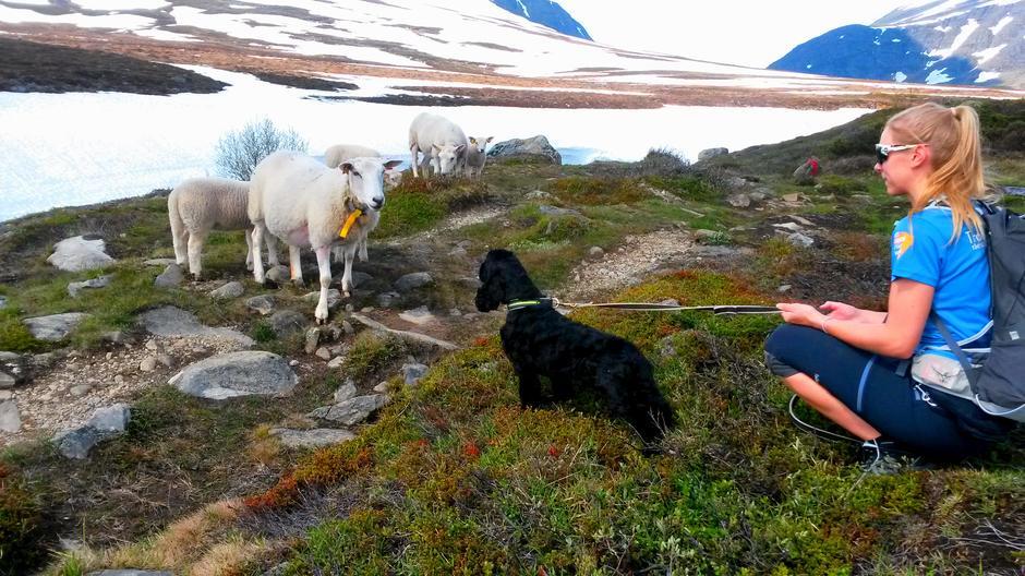 Hold alltid hunden i bånd i møte med dyr i fjellet.