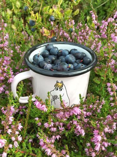 Blåbær plukking på sætra i kvanndalen, akkurat nok til å lage blåbærsyltetøy til kvelds😊