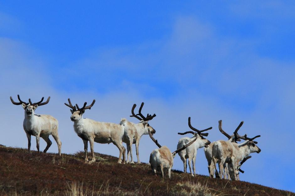 Områdene rundt Haukeliseter, med Hardangervidda i nord og Setesdal Ryfylke i sør-øst, er blant de største og fremste villreinområdene vi har i landet.