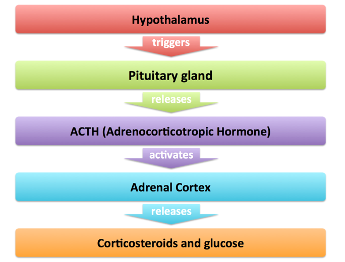 Pituitary Adrenal System Tutor2u Psychology