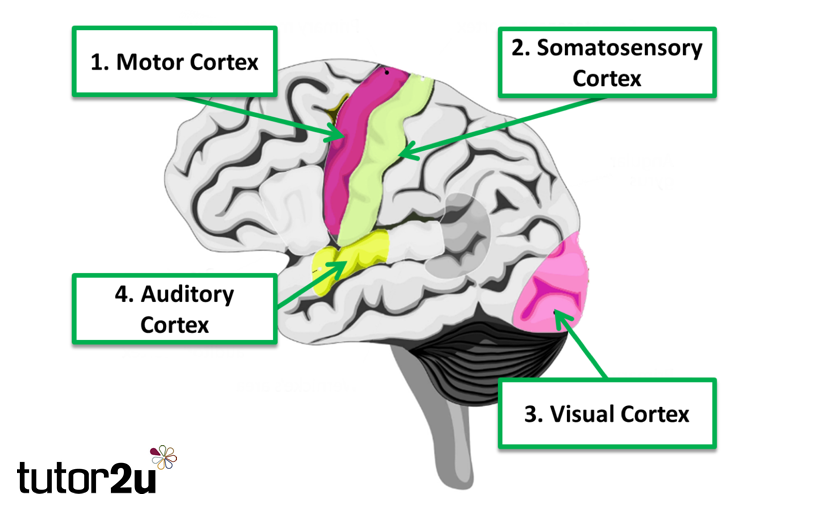 Biopsychology localisation of the brain function tutor2u psychology motor area ccuart Image collections
