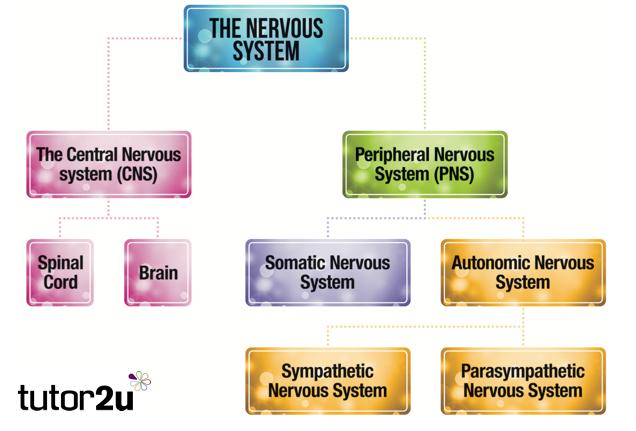 Biopsychology  Overview of the Nervous System   tutor2u Psychology