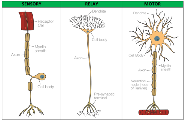 Biopsychology: Sensory, Relay and Motor Neurons | Psychology