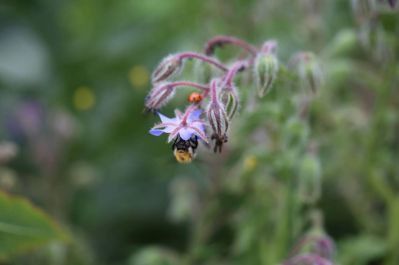 Ladybug Bee Borage (4)