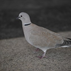 A collared dove
