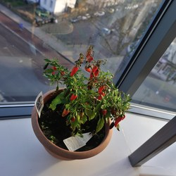 Jodie the chilli plant
