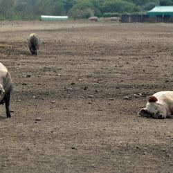 You lazy pig!