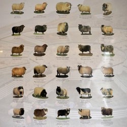 The Iceland Breed of Sheep