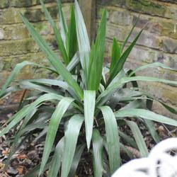 Palm tree Edward Junior