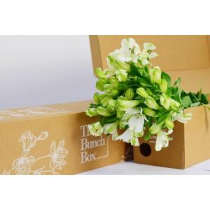 Alstroemeria Popping White