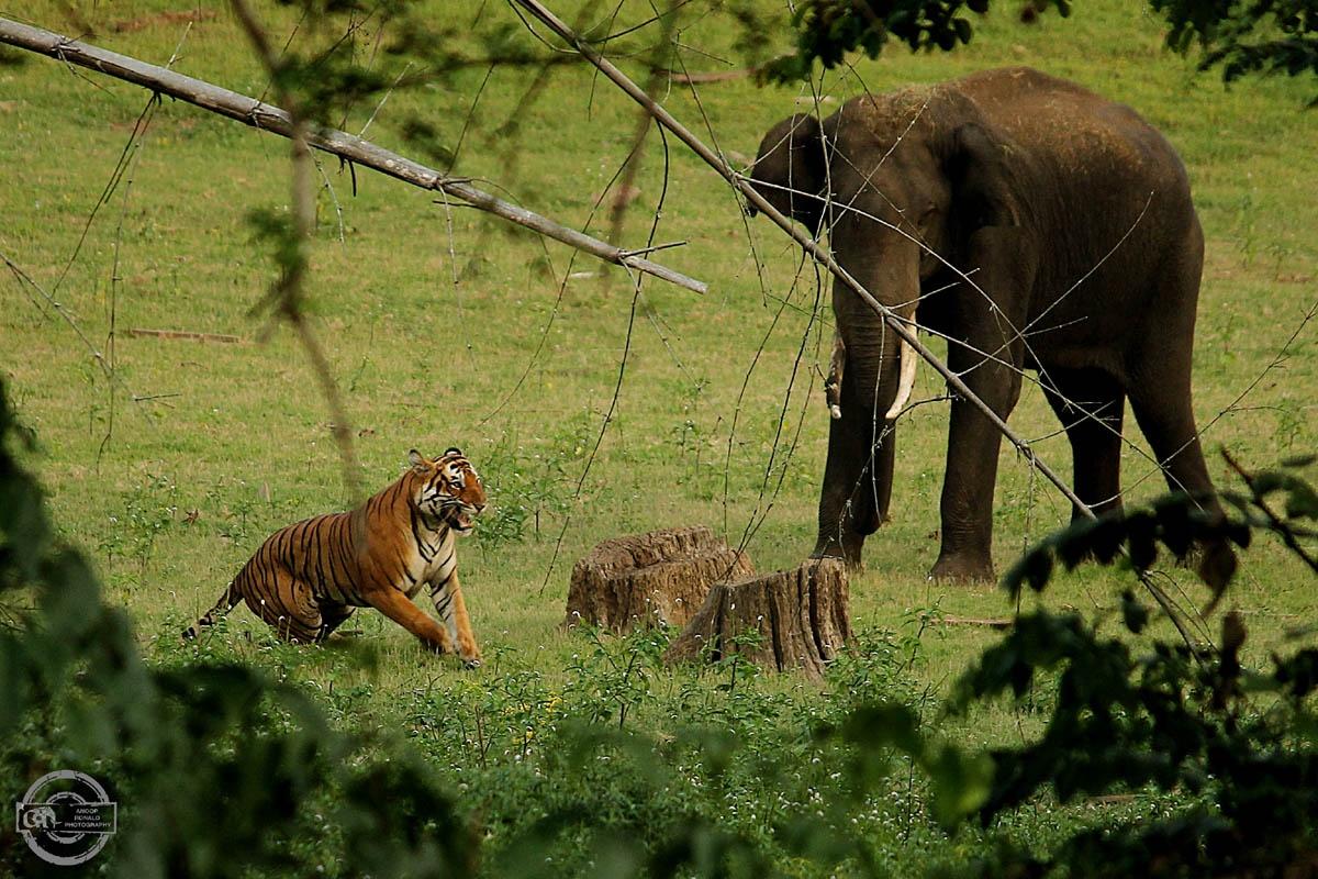 Картинки слона и тигра