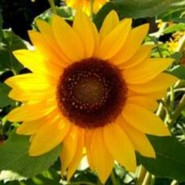 sellysunflower