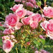 rosenelfe