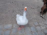 Zuckervogel