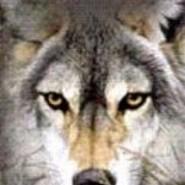 Indianwolf