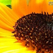 Sonnenblume2303