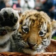 Taija Tiger