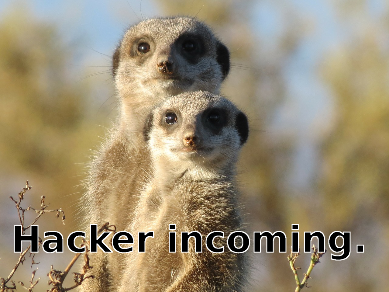 picture of meerkats meme hacker incoming