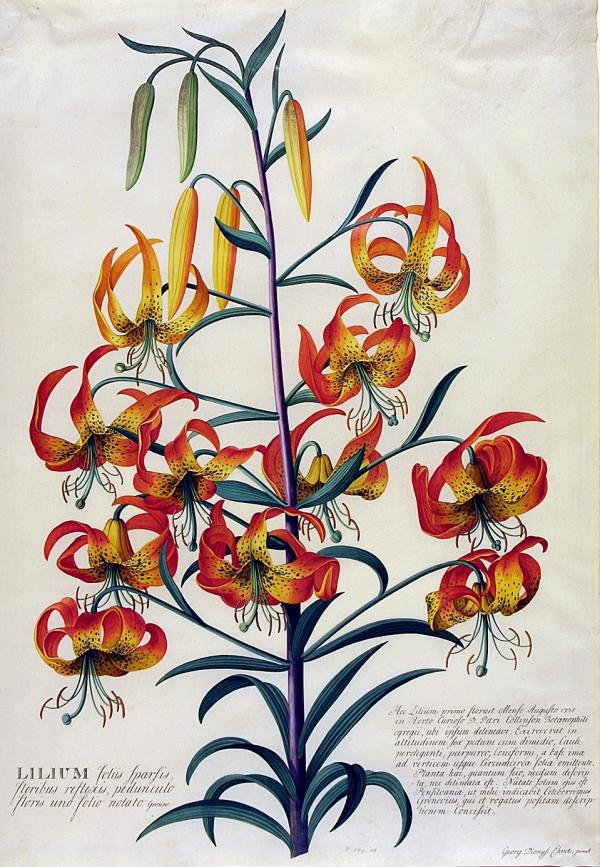 Watercolour of American Turk's-cap lily (Lilium superbum), G.D. Ehret, 1740s. Museum no. D.589-1886. © Victoria and Albert Museum, London.